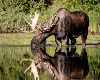 Photograph - Got Moose by Jack Bell