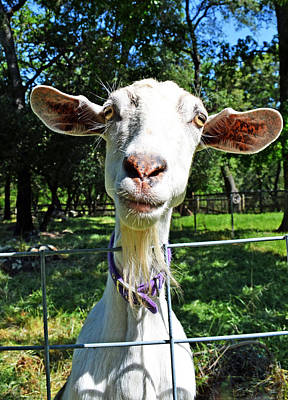 Photograph - Got Your Goat by Holly Blunkall