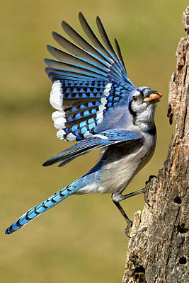 Bluejay Photograph - Gotta Go by Bill Wakeley