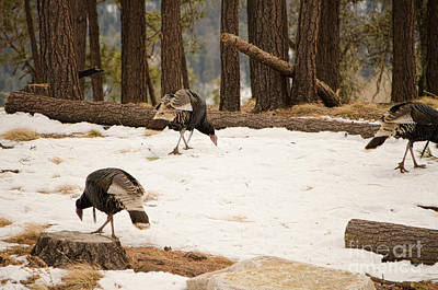 Photograph - Gould's Wild Turkey by Donna Greene