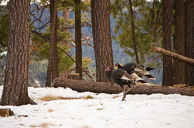 Photograph - Gould's Wild Turkey II by Donna Greene