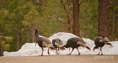 Photograph - Gould's Wild Turkey V by Donna Greene
