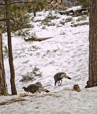Photograph - Gould's Wild Turkey Viii by Donna Greene