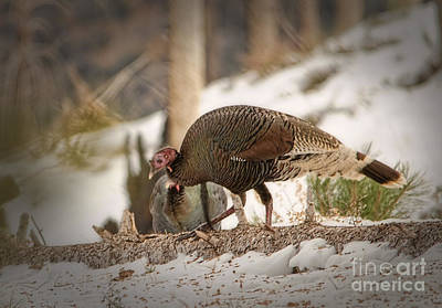 Photograph - Gould's Wild Turkey Vix by Donna Greene