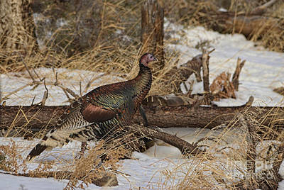 Photograph - Gould's Wild Turkey Xiii by Donna Greene