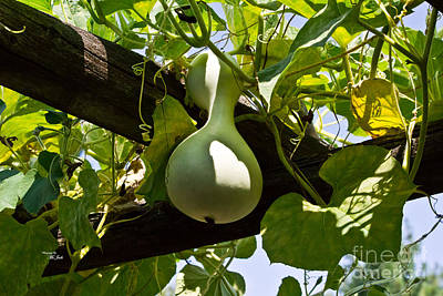 Photograph - Gourd Handing On by Ms Judi