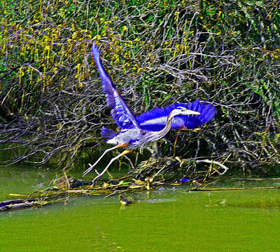 Photograph - Gr8 Heron Flight by Joseph Coulombe