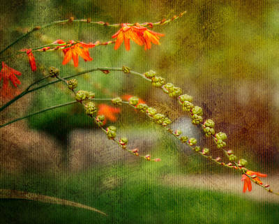 Photograph - Graceful Classic - Crocosmia by Jordan Blackstone