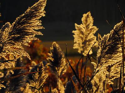 Pampus Photograph - Graceful Golden Glow by Dianne Cowen