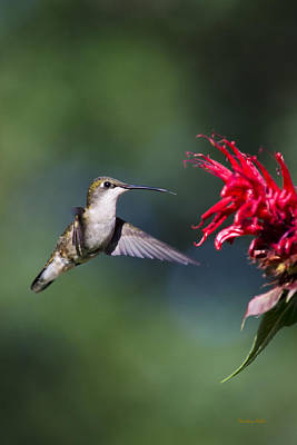 Photograph - Graceful Hummingbird In Flight by Christina Rollo