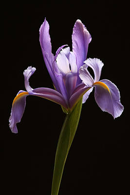 Photograph - Graceful Iris by Juergen Roth
