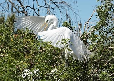 Florida Photograph - Graceful Landing Great Egret by Carol Groenen