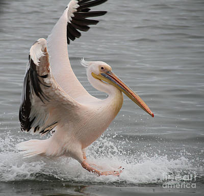 Photograph - Graceful Landing by Taschja Hattingh