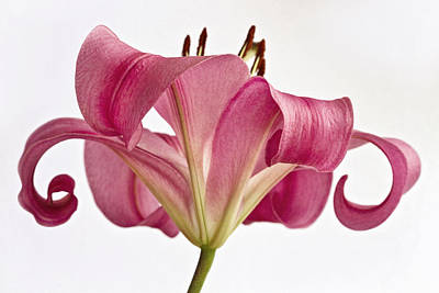Graceful Lily Art Print by Kim Andelkovic