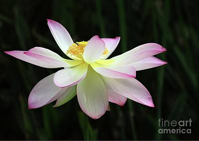 White Water Lilies Photograph - Graceful Lotus by Sabrina L Ryan