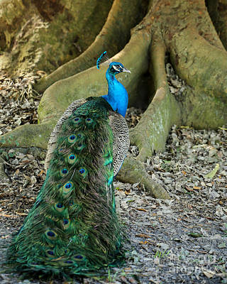 Photograph - Graceful Peacock by Sabrina L Ryan