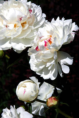 Photograph - Graceful Peonies by Brian Davis