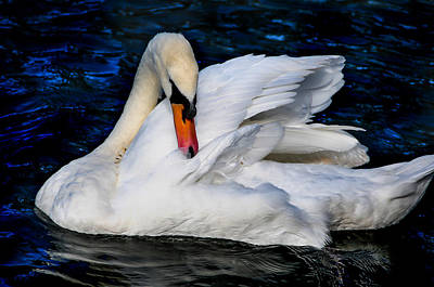Photograph - Graceful Swan In The Blue Water by Jenny Rainbow