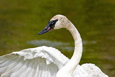 Photograph - Graceful Swan by Jack Bell
