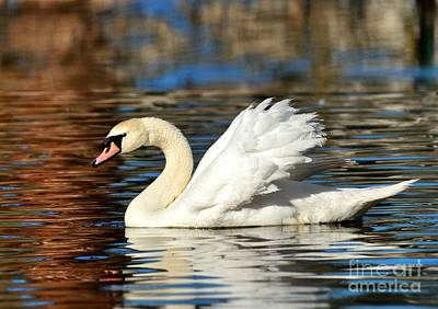 Photograph - Graceful Swan by Kathy Baccari
