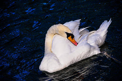 Photograph - Graceful Swan Resting In The Blue Water by Jenny Rainbow