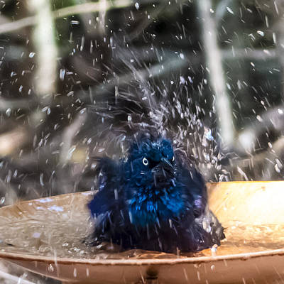 Photograph - Grackle Bath by Frank Winters