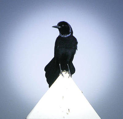 Photograph - Grackle Perch by Christy Usilton
