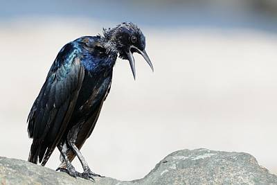 Photograph - Grackle Squawking by Bradford Martin