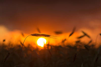 Wheat Silhouette Photograph - Sunset Over The Cornfield by Aldona Pivoriene