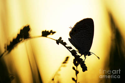 Gram Blue Butterfly Silhouette Art Print by Tim Gainey