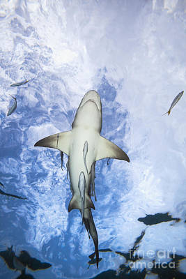 Remoras Photograph - Grand Bahamas, West End, Lemon Shark _negaprion Brevirostris_ Underwater With Remoras. by Dave Fleetham