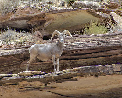Photograph - Grand Canyon Big Horn Sheep by Alan Toepfer