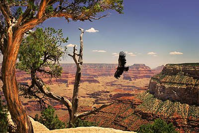 National Park Photograph - Grand Canyon Condour by Gregory Ballos