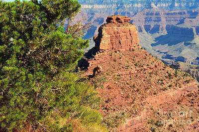 Grand Canyon Squirrel Out On A Limb In Front Of Oneill Butte Art Print