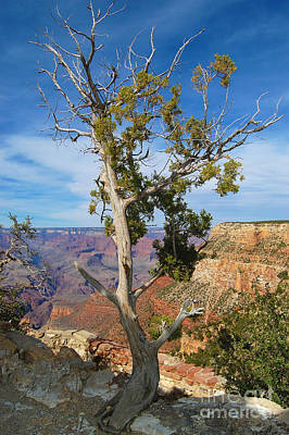 Photograph - Grand Canyon Tree On Rim Trail by Debra Thompson