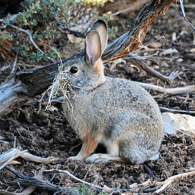 Grand Canyon Wildlife Rabbit Square Art Print by Shawn O'Brien
