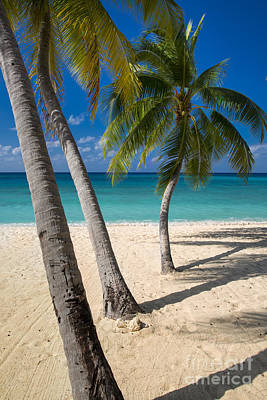 Photograph - Grand Cayman Palm Trees by Brian Jannsen