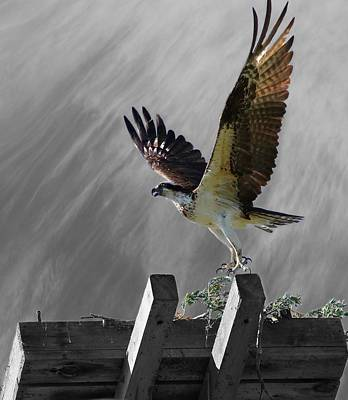 Grand Ole Osprey Art Print by Davandra Cribbie