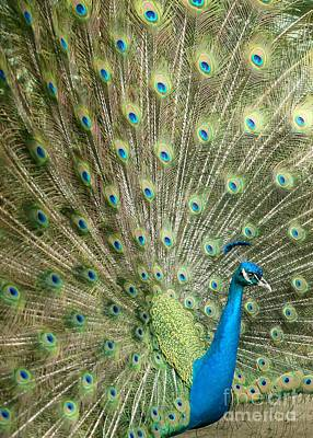 Photograph - Grand Peacock by Sabrina L Ryan