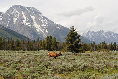 Photograph - Grand Teton Elk by Robert  Moss