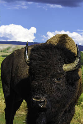 Photograph - Grand Teton National Park Bison by Brian Harig