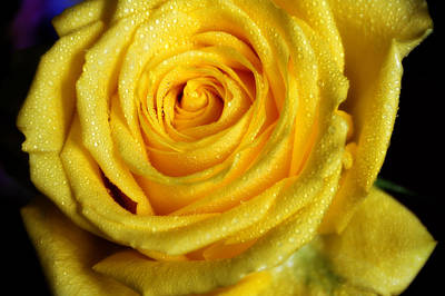 Photograph - Grandeur Of Nature. Yellow Rose II by Jenny Rainbow