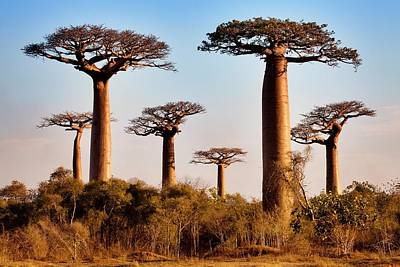 Grandidier's Baobab Trees Art Print by Alex Hyde