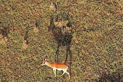 Photograph - Grants Gazelle by Tony Murtagh