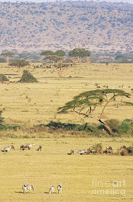 Grants Zebra And Wildebeest Art Print