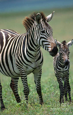 Grants Zebra With Young Art Print by W. Wisniewski