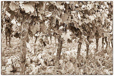 Grape Vines Photograph - Grape Bunches On The Vine - Toned by Georgia Fowler