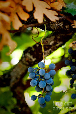 Merlo Wall Art - Photograph - Grape Cluster by Eleanor Caputo