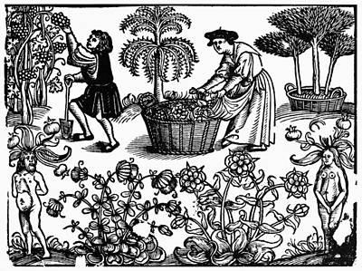 Winemaking Painting - Grape Harvest, 1576 by Granger