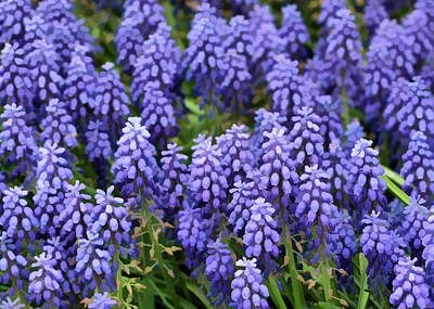 Photograph - Grape Hyacinth At Thanksgiving Point - 1 by Ely Arsha